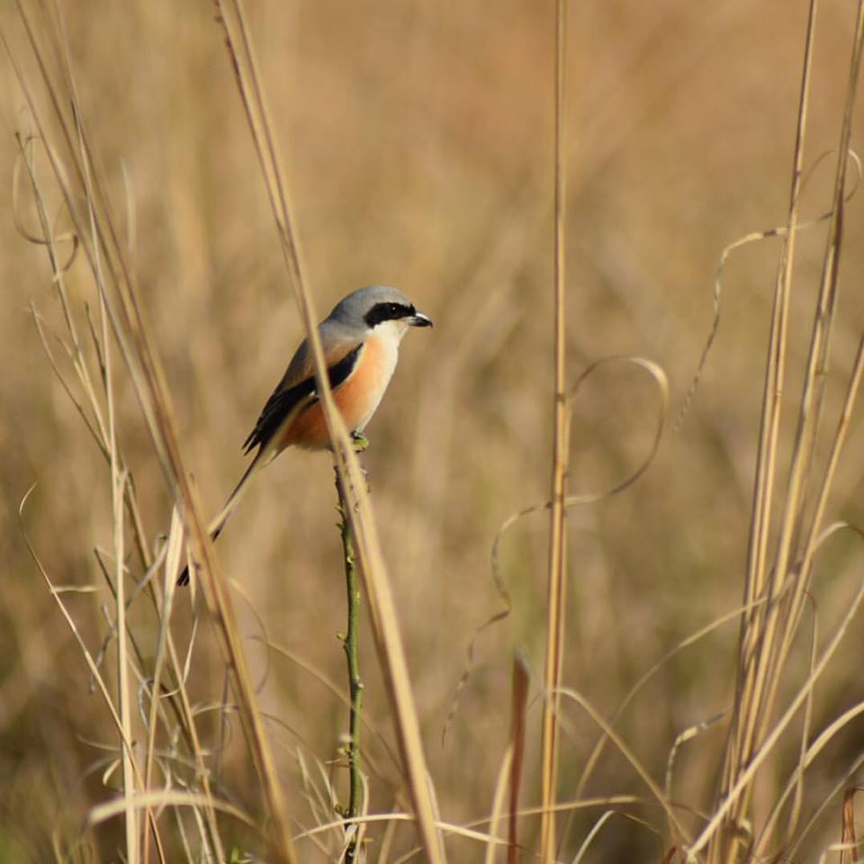 photo of shrike