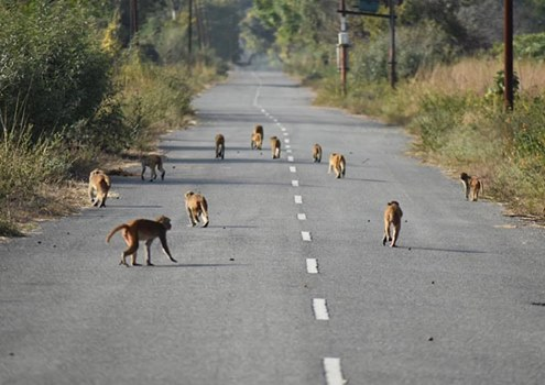 photo of monkeys crossing